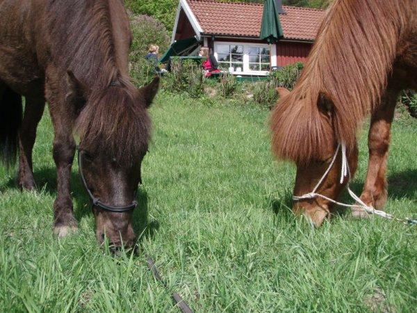 Hästarna fikar i gröngräset