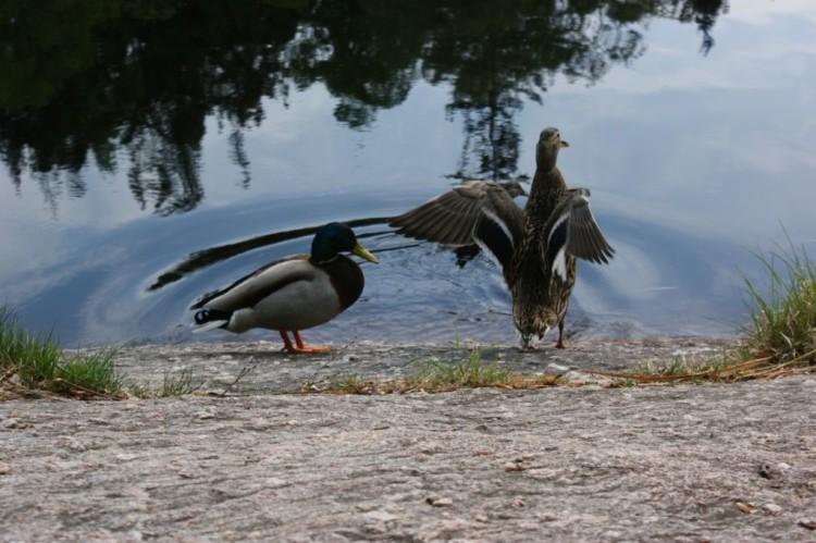 Fågelliv i Delsjön