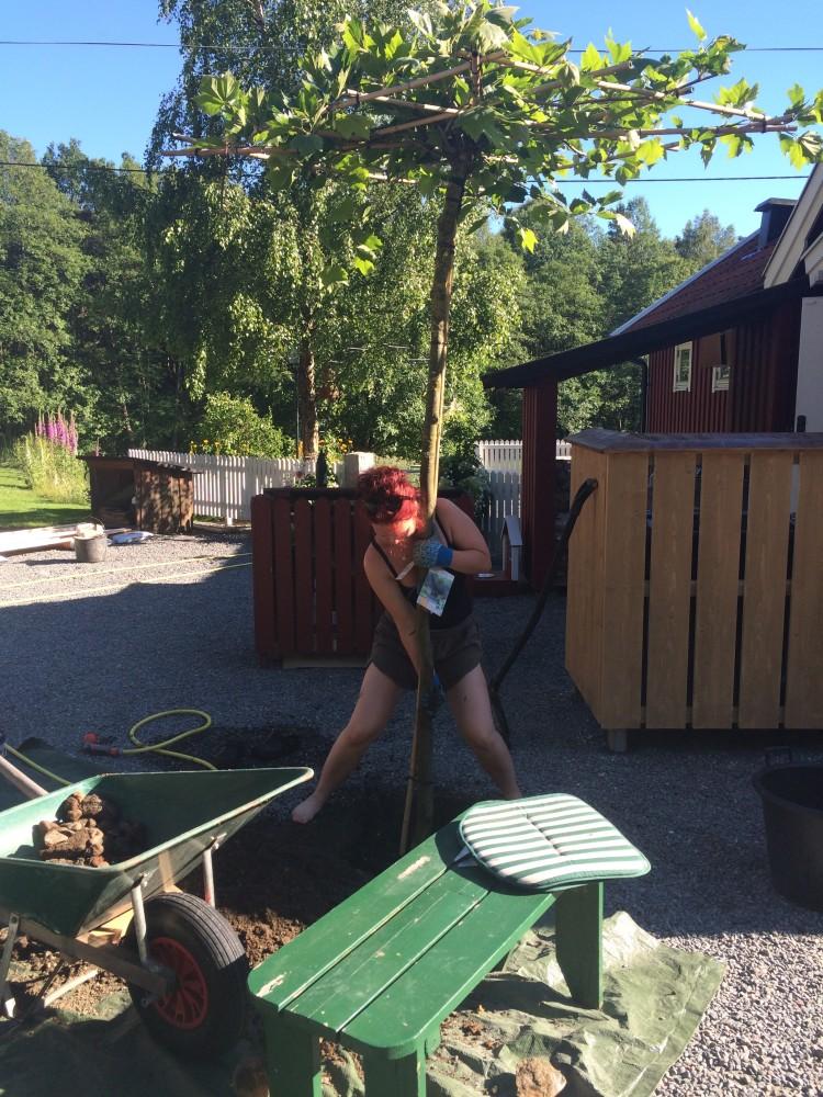 _Nytt träd planteras sommaren 2015